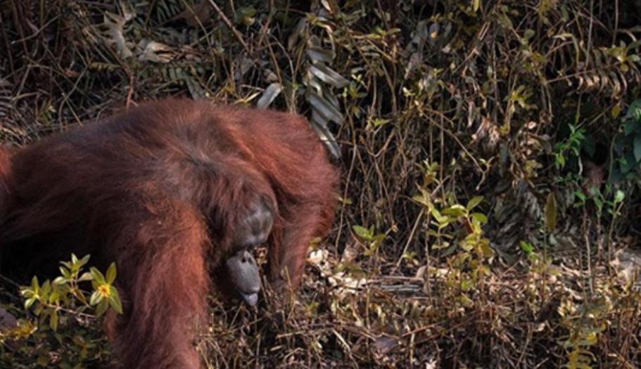 Ќе ви се стопли срцето кога ќе видите што прави овој орангутан