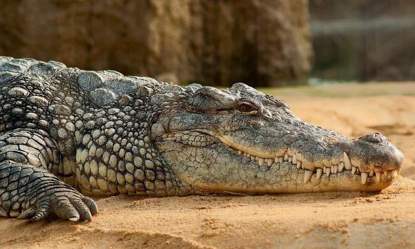 Требало да седи дома поради коронавирусот: Ја прекршил наредбата за изолацијата, излегол па го изел крокодил