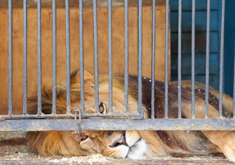 Косовец се обидел да прошверцува лав од Албанија