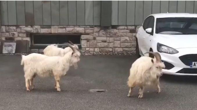 ВИДЕО: Диви кози го запоседнаа велшкото гратче Ландудно