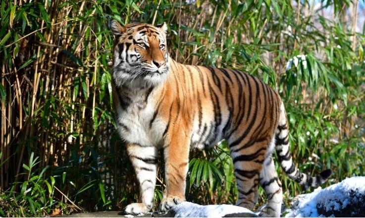 Пронајден е тигар во Америка кој талкал низ градот седум дена