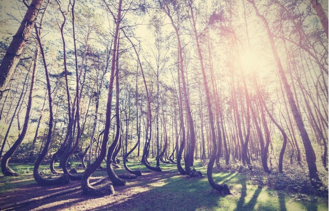 """Мистериозна шума со чуден феномен: Сите дрва се како буквата """"Ј"""""""