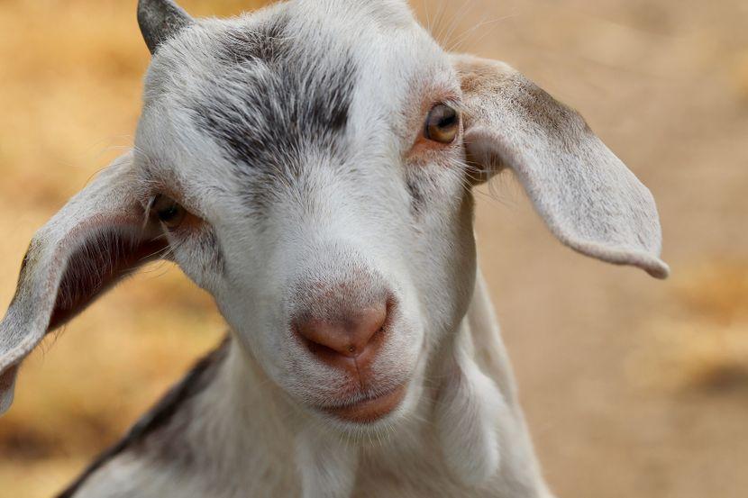 Коза и папаја позитивни на коронавирус во Танзанија