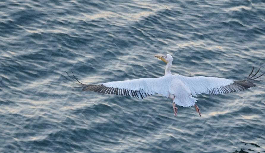 Се пребројуваат пеликаните од Преспанското Езеро
