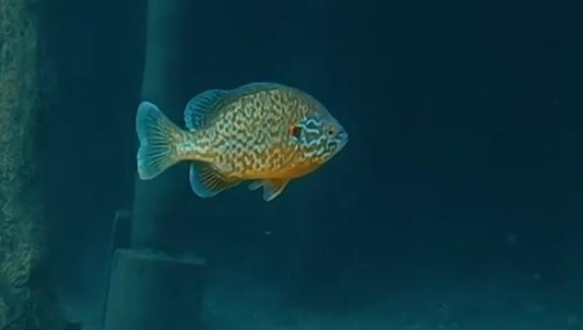 Сончарка – нов вид риба во Охридското Езеро (ВИДЕО)