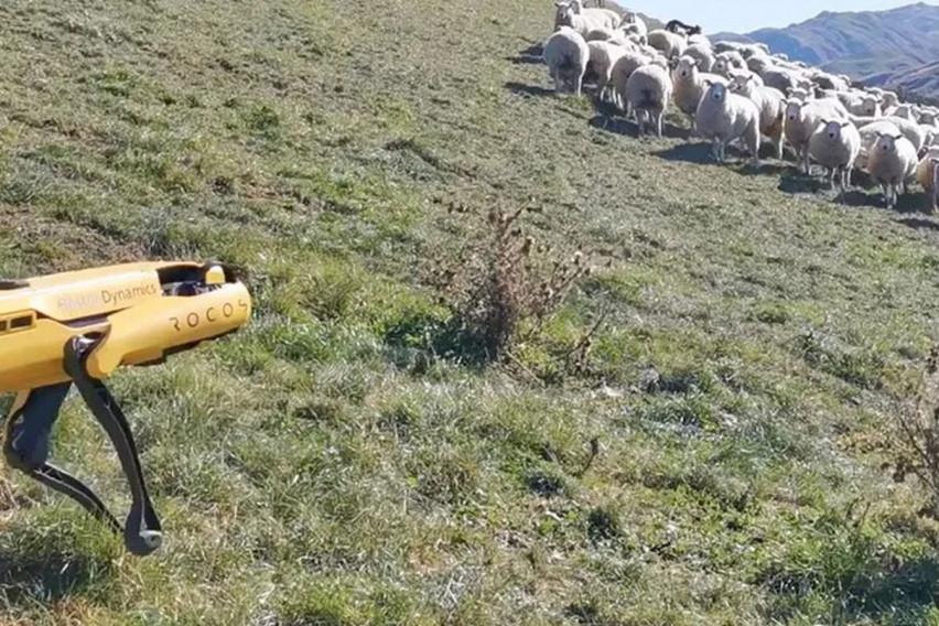 Иднината на сточарството: Робот чува овци!