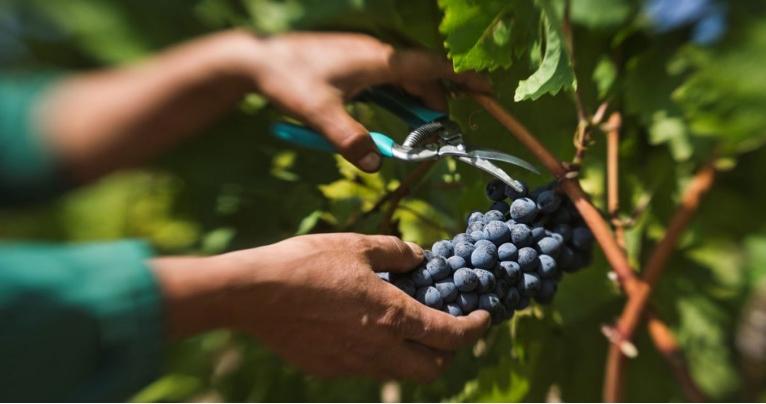 Трипуновски: ВМРО-ДПМНЕ предлага интервентен откуп на грозје, државата да не се расфрла на луксуз туку да помогне на лозарите