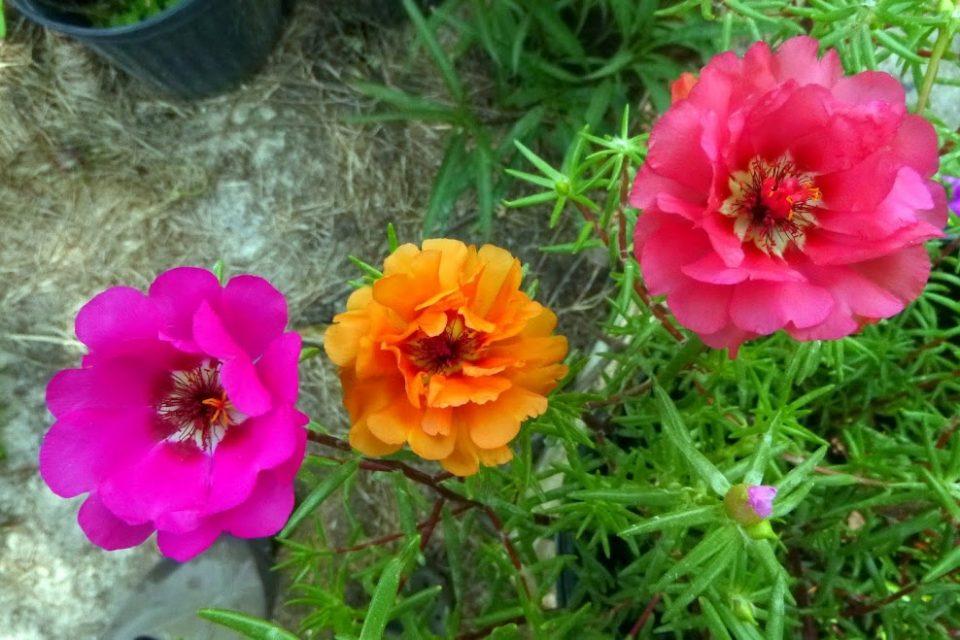 Пркосот е убав цвет кој лекува