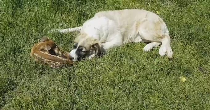НОВА АТРАКЦИЈА ВО КИЧЕВСКО БЕЛИЦА: Кучето Медо од шумата донесе срнче во семејството на Радески кое го израсна Бамби