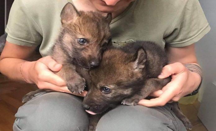 Спасени три волчиња