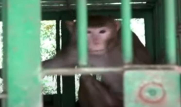Мајмун алкохоличар убил човек и повредил 250 жени и деца (ВИДЕО)