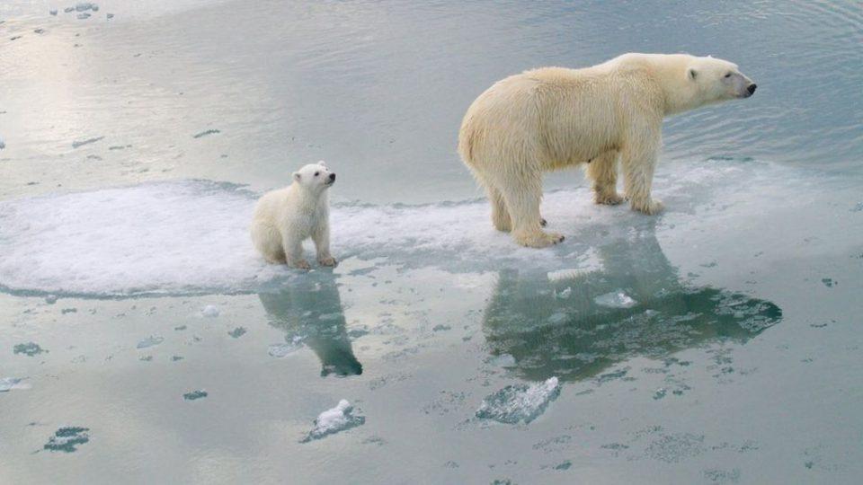 Поларните мечки ќе исчезнат до 2100 година