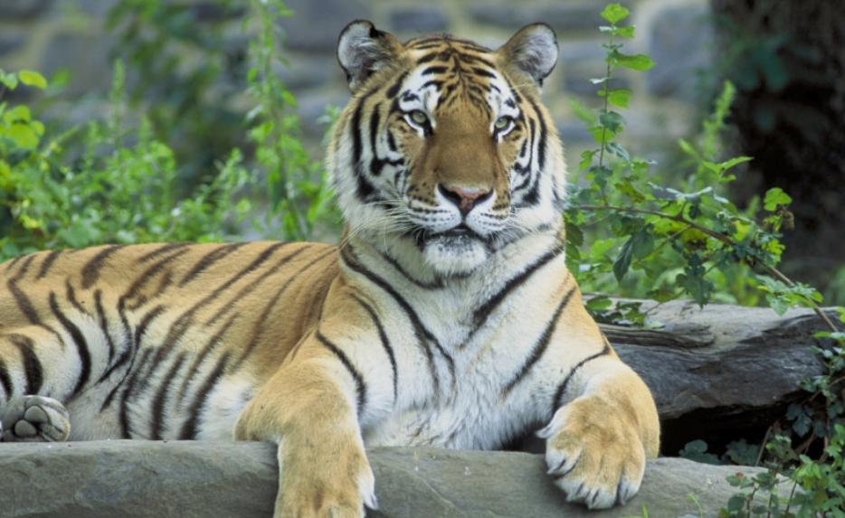 Тигрица нападна жена во зоолошка градина, сведоците барале психолошка помош