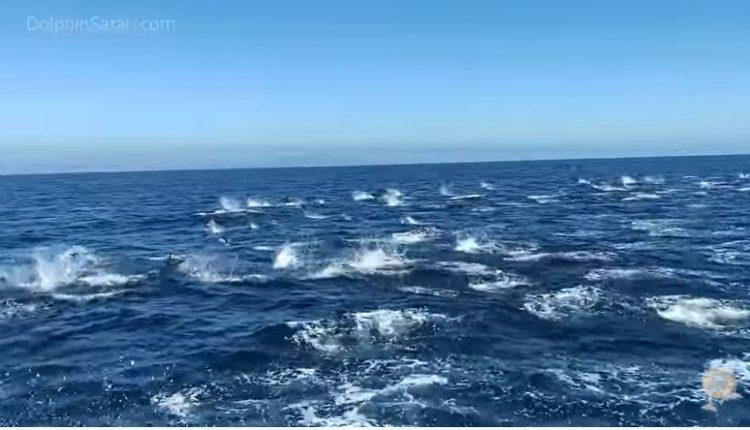 """Неверојатна глетка: 300 делфини во """"стампедо"""" ВИДЕО"""