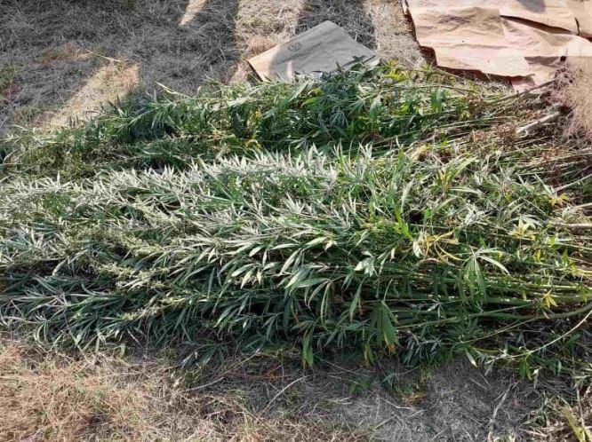 ФОТО: Над 100 стебла канабис сатива пронајдени во делчевско
