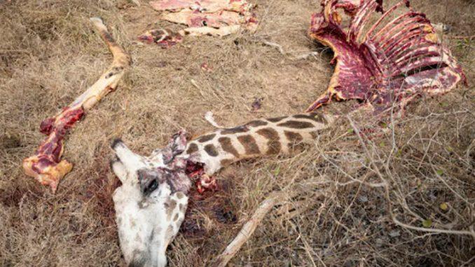 Луѓето во Кенија поради храна ги убиваат загрозените диви животни