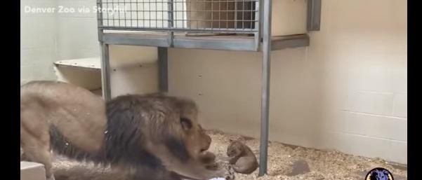 Видео кое ќе ви го разнежни срцето: Лавот татко за прв пат го гледа своето бебе