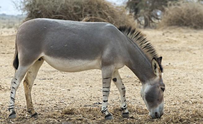 Се роди Африканско диво магаре во зоолошка градина во Велика Британија