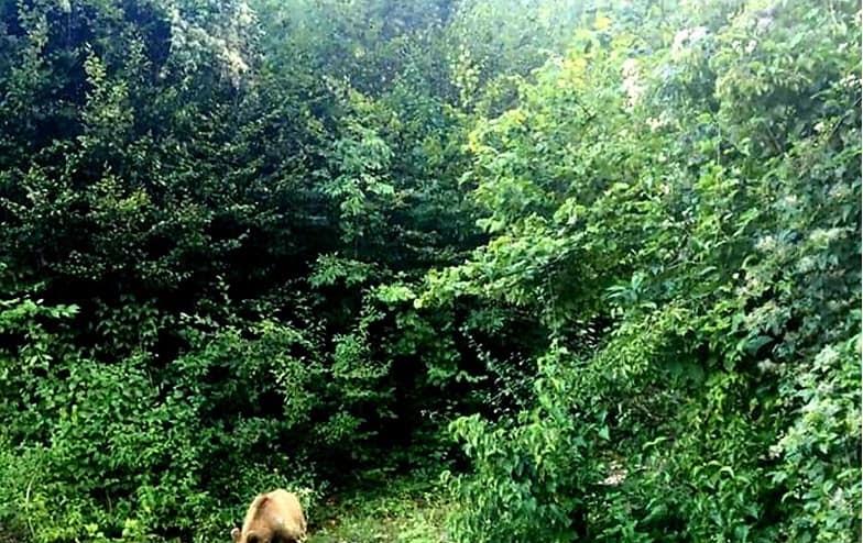 Предупредување: Во близина на Тетово шета мечка (ФОТО)