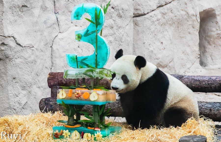 ФОТО: Прослава за роденденот на пандите во зоолошката градина во Москва