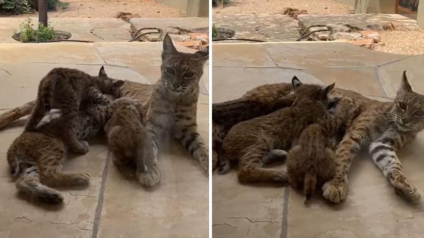 Здогледала преубави мачки на тераса, а тогаш сфатила дека тоа се вистински ѕверови: Не смеела да излезе 4 часа (ФОРО+ВИДЕО)