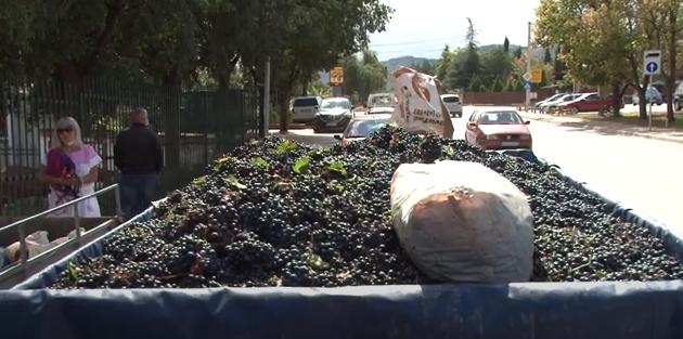 Расте паниката кај тиквешките лозари- грозјето им се откупува за два денари по килограм