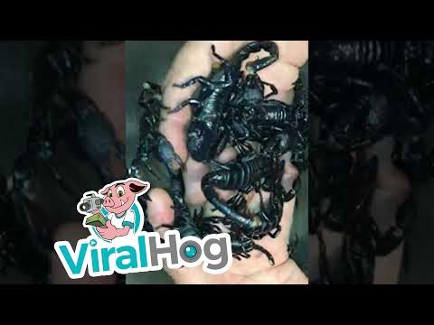 Не е за оние со слабо срце: Се ракува со шкорпии како да се безопасни…