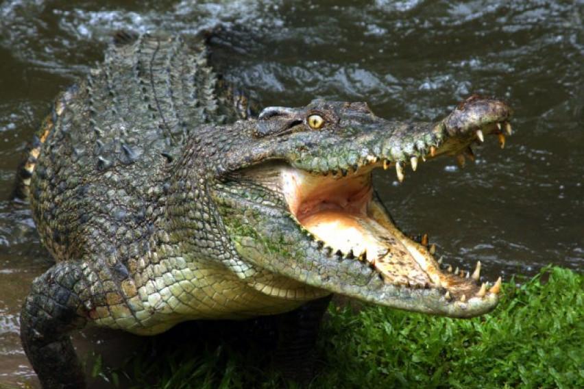 Фатен крокодил: Ѕверот е долг 4,4 метри и тежок 350 килограми