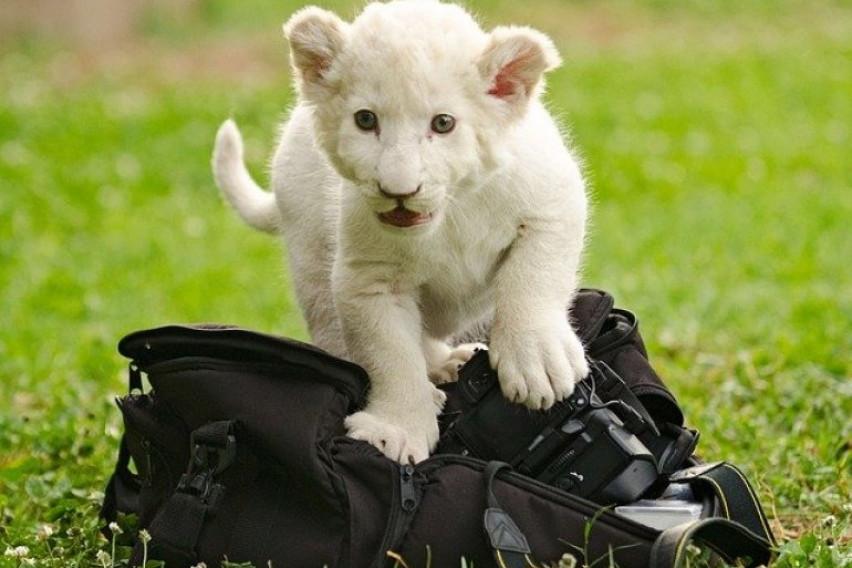 Младенче од бел лав спасено на несекојдневен начин! Било заглавено во уништен автомобил