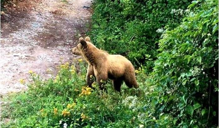 Мечка повредила овчар на Шара, го спасиле кучињата