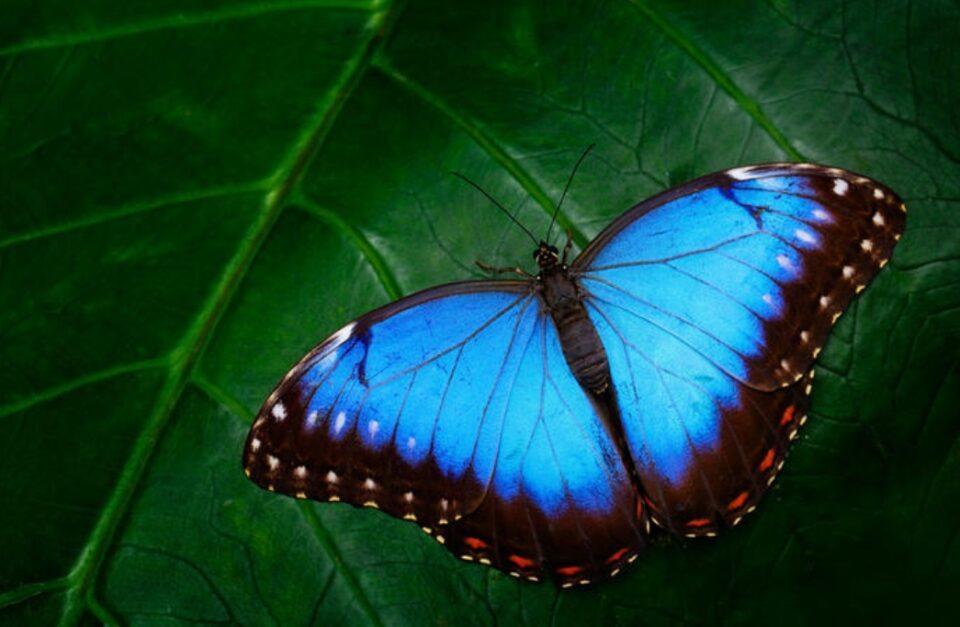 Легенда за сината пеперутка: Оваа приказна е сè што треба да знаете за животот