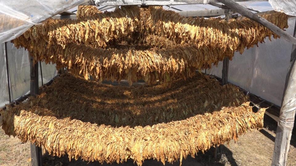 Тутунот речиси со квалитет како лани, но количествата драстично намалени, се бараат аргати
