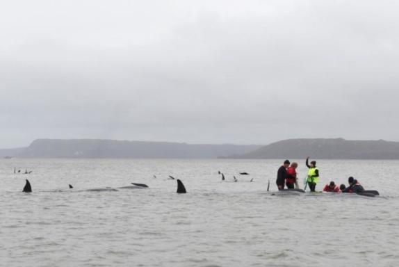 Неколку насукани китови ќе мора да бидат успиени