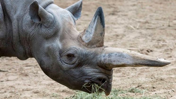"""Останаа без """"старата дама"""": Берлинската зоолошка тагува по смртта на најстариот носорог на светот"""