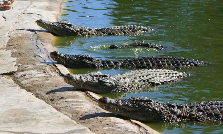 ВИДЕО: Луѓе во паника, крокодили долги и до три метри шетаат по улиците