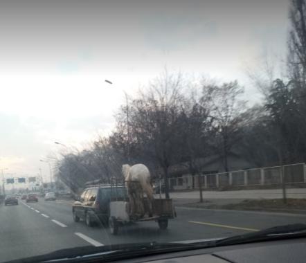 Бел коњ среде Скопје се вози во автомобил (ХИТ ФОТО)