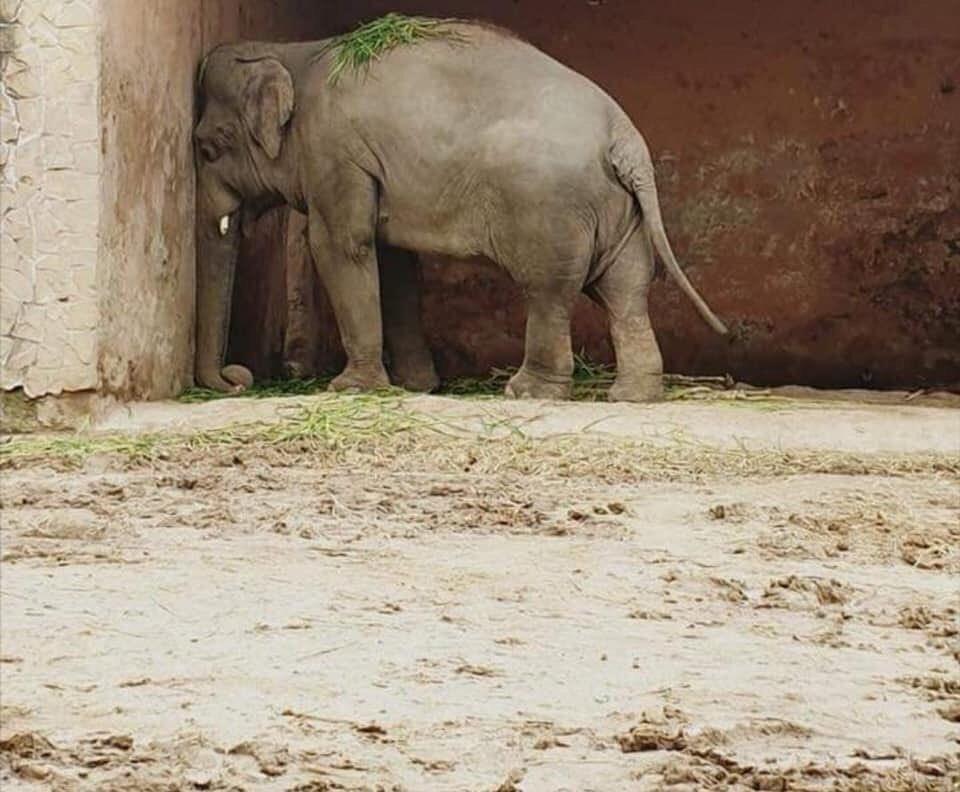 ФОТО+ВИДЕО: Најосамениот слон на светот доби ново живеалиште во Камбоџа