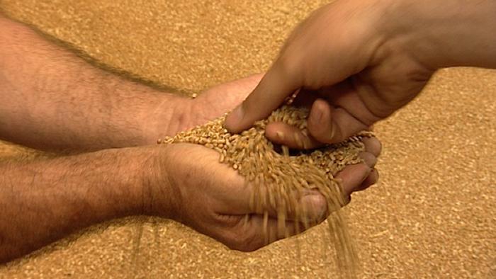 Мелничарите пред колапс, догодина ќе немаат капацитет да ја откупат пченицата
