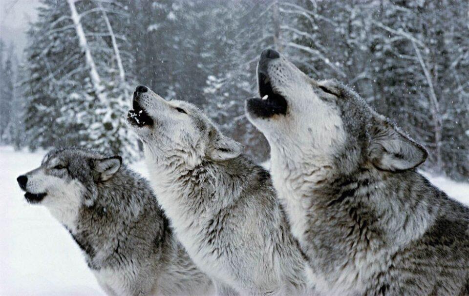 (ВИДЕО) Глутница волци држат во страв цело село во Русија