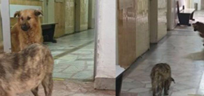 Улични кучиња трчаат низ болницата во Кичево, каде лежат и болни од коронавирус