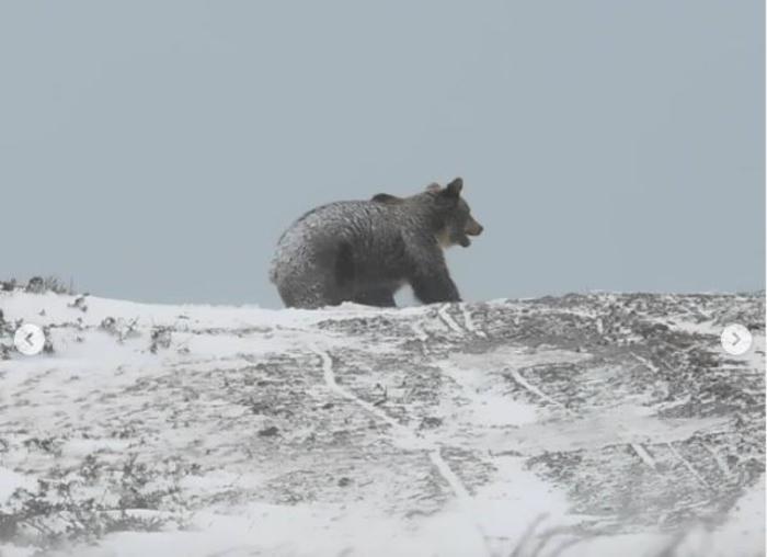 ГЛЕТКА ШТО ЌЕ ВИ ГО РАЗУБАВИ ДЕНОТ: Снимена мечка на Шар Планина (ВИДЕО)