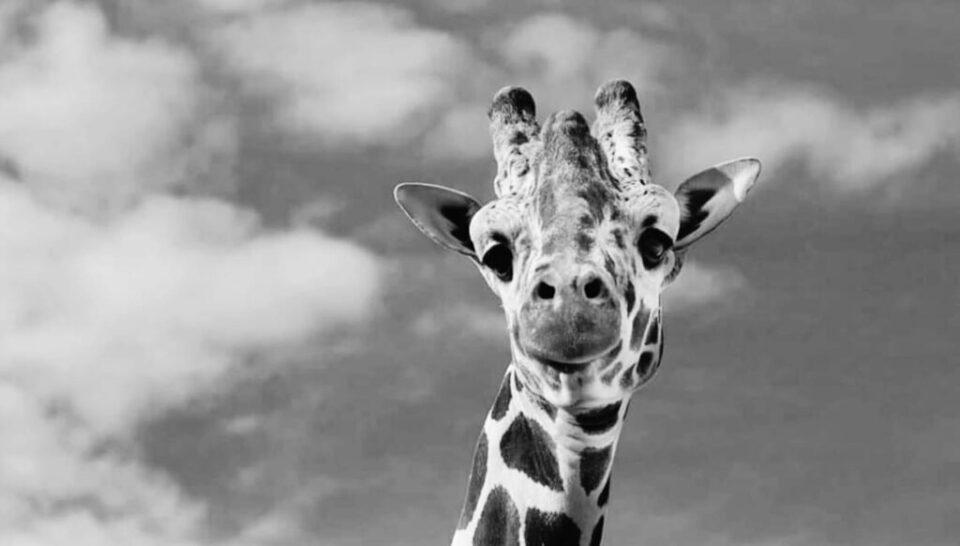 Срцев удар најверојатно е причината за смртта на жирафата во ЗОО Скопје