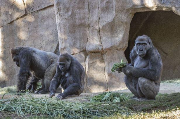 Заразените горили со коронавирус целосно оздравеле