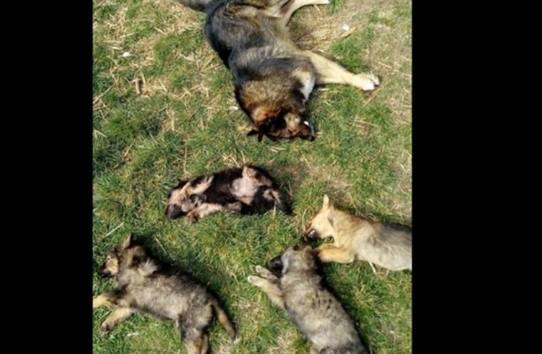 Четири новородени кучиња и нивната мајка отруени во Охрид (Вознемирувачко видео)