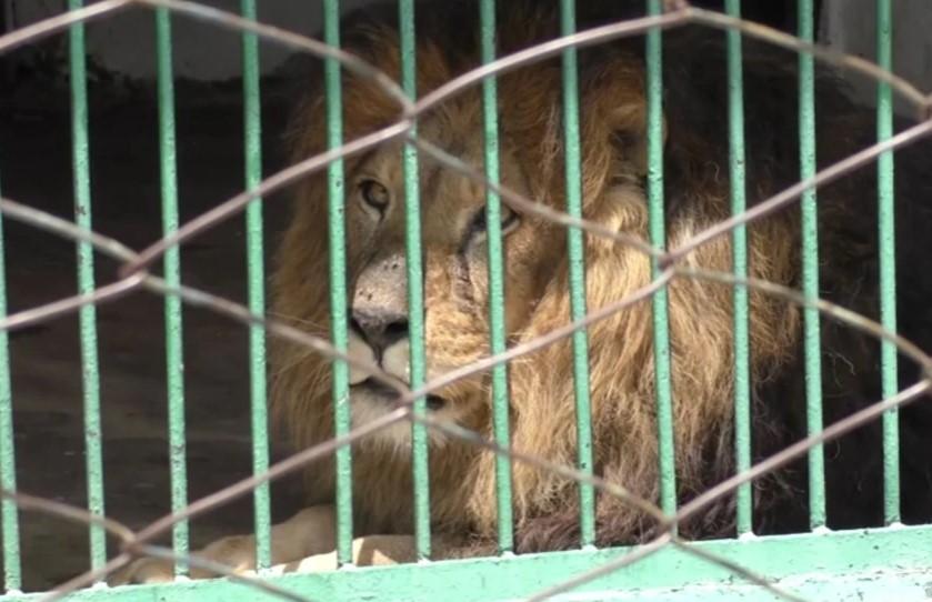 Лав нападнал чуварка во зоолошка додека му го чистела кафезот