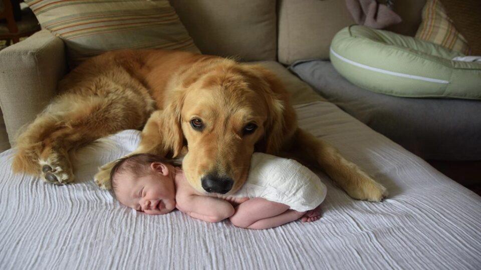 Златен ретривер: Дознајте зошто оваа раса на куче е најомилена и најпопуларна меѓу луѓето