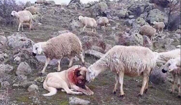 МОЌНА ФОТОГРАФИЈА: Куче ги спаси овците од волци, а еве каква благодарност доби