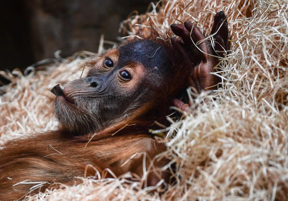 Девет мајмуни вакцинирани против коронавирусот во Калифорнија