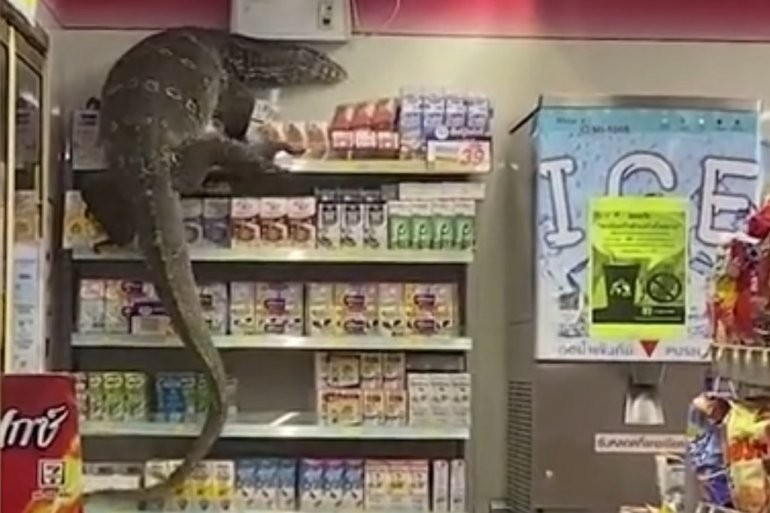 Гуштер од два метри влезе во продавница во Тајланд: Врескање и паника, а потоа животното почна да се качува по рафтовите (ВИДЕО)