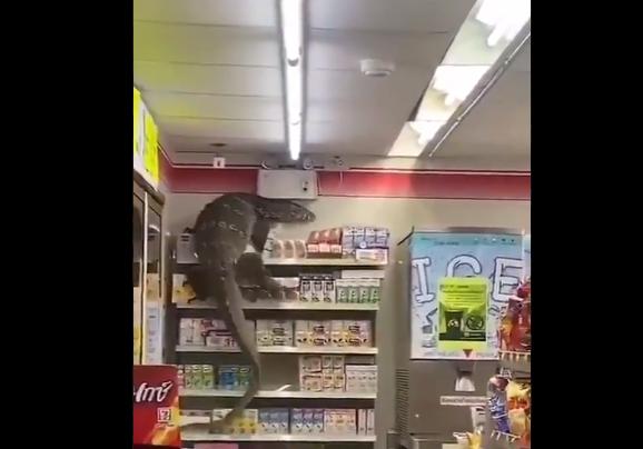 НЕВЕРОЈАТНО: Годизила отиде на шопинг – снимиле огромен гуштер во продавница како руши сè од полиците (ВИДЕО)